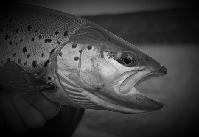 north island fly fishing rob vaz fly fishing brown trout